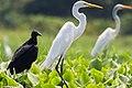 Great Egret Garza Real (Ardea alba egretta) (25263043892).jpg