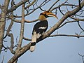 Great Hornbill DSCN8644 02.jpg