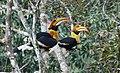 Great hornbill , Buceros bicornis.jpg