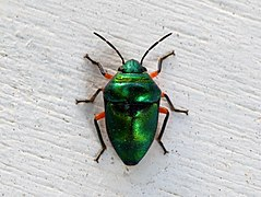 Green Jewel Bug 8841.jpg