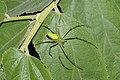 Green Lynx Spider7037.jpg