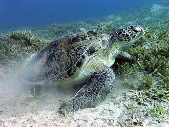 Hawke's Bay Beach - Endangered Green sea turtle