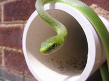 Green snake on wall drain.jpg
