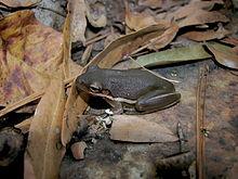 American Green Tree Frog Wikipedia