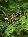 Greenish Warbler (Phylloscopus trochiloides) (20675760862).jpg