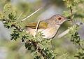 Grey-backed Camaroptera, Camaroptera brachyura, at Mapungubwe National Park, Limpopo, South Africa (17943524830).jpg