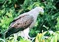 Grey-headed Fish Eagle, Kerala.jpg