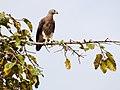 Grey-headed Fish Eagle (13970808900).jpg