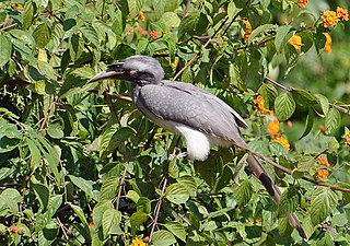 Grey Hornbill at Bijrani in Corbett T R.jpg