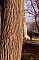 Grey Squirrel (Sciurus carolinensis) - geograph.org.uk - 698163.jpg