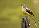 Grey wagtail at Tennōji Park in Osaka, November 2016 - 890 III.jpg