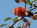 Greyia sutherlandii, bloeiwyses, Manie van der Schijff BT, d.jpg