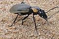 Ground Beetle (Anthia burchelli) female (16235038063).jpg