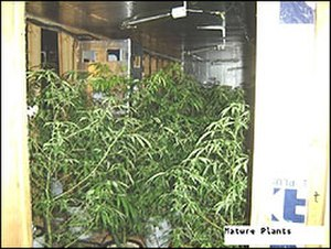 Grow house - Cannabis plants found in a grow house