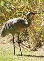 Grus canadensis -George C Reifel Migratory Bird Sanctuary, British Columbia, Canada-8.jpg