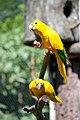 Guaruba guarouba -Gramado Zoo, Rio Grande do Sul, Brazil-8a.jpg