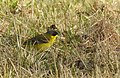 Gulärla Nordlig ras Dark-headed Wagtail (19729549643).jpg