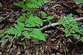 Gymnocarpium dryopteris (16309554346) (cropped).jpg