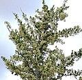 Gymnosporia heterophylla - African Spikethorn tree in flower 18.jpg