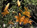 H20090709-1367--Lilium parvum--RPBG (9286116433).jpg