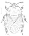 HEMI Cydnidae Chilocoris neozelandicus m.png