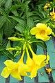 HK Shek Tong Tsui 中西區 Western District 豐物道 Fung Mat Road yellow flowers plant April 2018 IX2 01.jpg