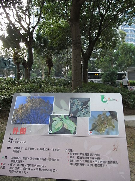File:HK Tung Chung Fu Tung Estate garden tree Celtis Sinensis Oct-2012.JPG