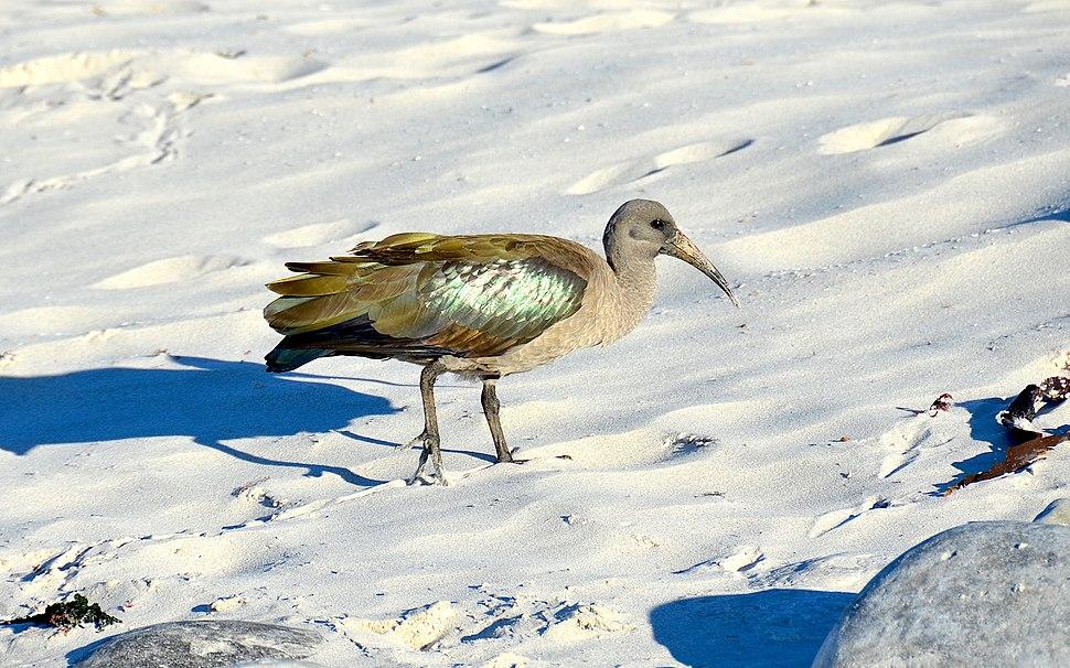 Hadada ibis, South Africa (2017)