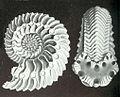 Haeckel Cardioceras cordatum.jpg