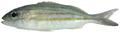 Haemulon striatum - pone.0010676.g094.png