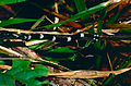 Hammerhead Flatworm (Bipalium sp.) - Niah Caves NP, Sarawak, Malaysia - Scanned slide from 2001 (3).jpg
