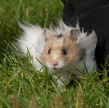 Long Haired Hamster Colors 32