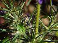 Haplanthodes verticillatus (3089486390).jpg