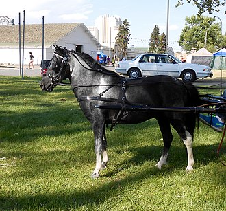 American Shetland Pony - Harnessed to a sulky, Great Falls, Montana