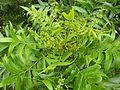 Harpephyllum caffrum, loof en bloeiwyses, a, Manie vd Schijff BT.jpg