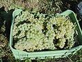 Harvest Trebbiano grapes in Tuscany.jpg