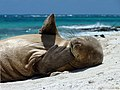 Hawaiian monk seal at French Frigate Shoals 04.jpg