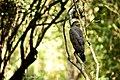 Hawk at Wilpattu.jpg