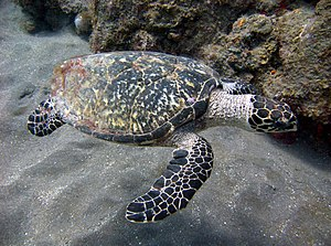 Hawksbill sea turtle - Image: Hawksbill turtle off the coast of Saba