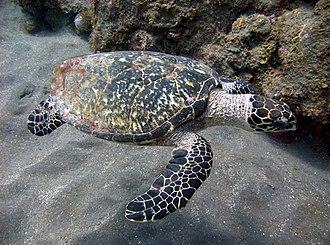 Hawksbill sea turtle - Image: Hawksbill turtle off the coast of Saba