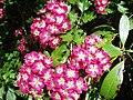 Hawthorn blossom - geograph.org.uk - 185620.jpg