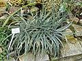 Hechtia podantha - Botanischer Garten München-Nymphenburg - DSC07936.JPG