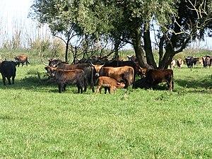 Oostvaardersplassen - Heck cattle