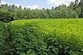 Helianthus tuberosus on food plot kz01.jpg