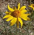 Heliomeris multiflora var nevadensis 3.jpg