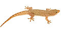 Hemidactylus frenatus from Barangay Dibuluan - ZooKeys-266-001-g049.jpg