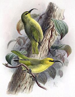 Hemignathus lucidus affinis