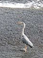 Heron on the weir below Hexham Bridge (close up) - geograph.org.uk - 818760.jpg