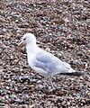 Herring Gull 003.JPG