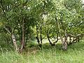 Het Berkenbos op Schiermonnikoog.JPG